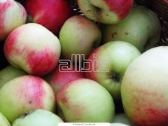 Яблоки летние от производителя, продажа