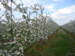 Саженцы яблони, продукция садоводства,