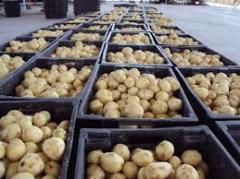 New potato Kherson Region.