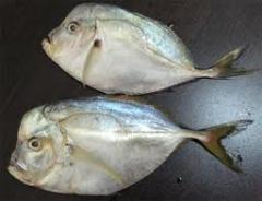 Moonfish/Vomer from Ecuador, delivery terms - CIF,