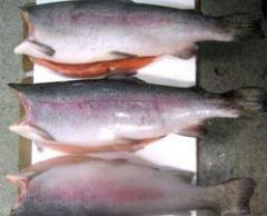 We can offer from Chile fresh frozen Trout/trout