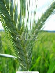 Рожь зерно