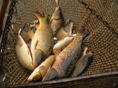 Рыба, продажа живой рыбы, малька, личинки