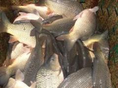 Рыба речная, продажа живой рыбы