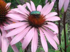 трава эхинацеи пурпурной
