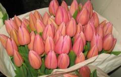 Тюльпани рожеві