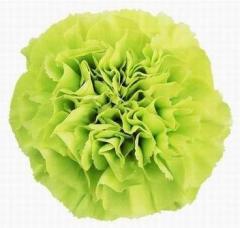 Harlem carnation