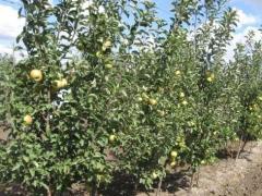 Saplings fruit and berry: Saplings of apple-trees.