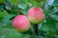 Саженцы яблонь. Выращивание и продажа.