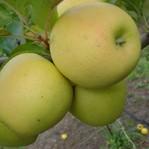 Apples, Golden, Champion, Fudzhi, Mutsu, Ligold.
