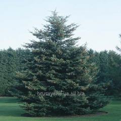 Вічнозелені дерева