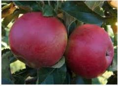 AYDARED apples from the producer. PILIPENKO farm