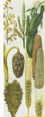 Зерно, зерновые культуры: пшеница, ячмень, гречиха,кукуруза, горох, рапс. Оптовые продажи на  Украине. Самовывоз