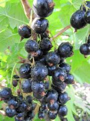 Саженцы плодовых кустарников. Купить саженцы