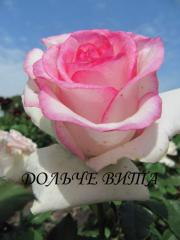 Саженцы роз, хризантем, сакура. Купить саженцы