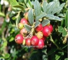 Plants of berry bushes