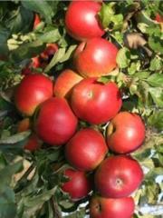 "Apples ""Aydared"","