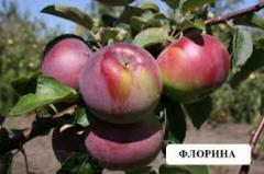 Саженци яблони Флорина