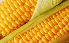 Кукуруза на стержне початка,Купить (продажа),Цена