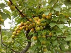 Семена для плодоводства,Купить (продажа),Цена