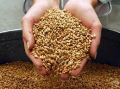 Ячмень зерно