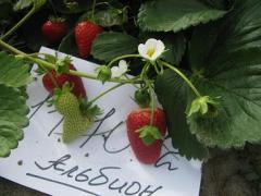Strawberry saplings Albion