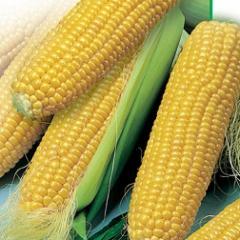 Кукуруза гибридная Днепровский 181 СВ