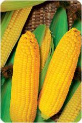 Кукуруза гибридная сорт Яринин 176 СВ