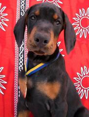 The Dobermann terrier puppies of super show