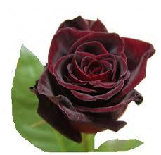 Саженцы роз Блек Мейджик кустовая