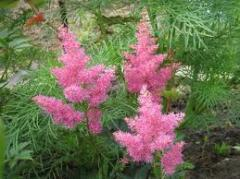Астильба – Белая, розовая, сиреневая