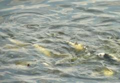Fish stock of Karpov of fishes
