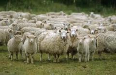 Sheep, Export, delivery. WHOLESALE large of Odessa