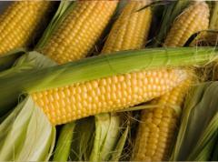 Corn seeds the SHOT - 267 MV