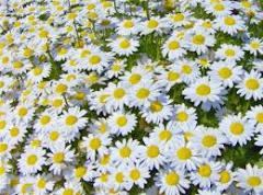 Flower water of camomile