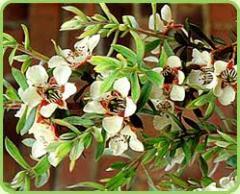 Цветочная вода чайного дерева, стандартизированная