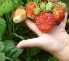 Strawberry sapling Gigantell's grade