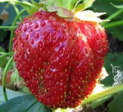 Sapling elite grade strawberries Venta