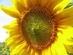 "Sunflower seeds grade ""Donskoy"""