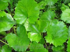 Leaves of medicinal plants