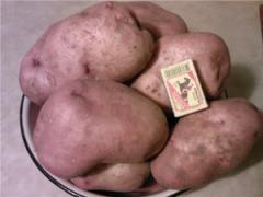 Potatoes of srednepozdniya