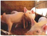 Feed additives for pigs of BMVD