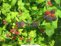 Agriculture: Raspberry bushes