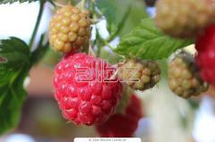 Raspberry shanks
