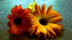The calendula is medicinal. Flowers of a calendula