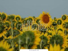 Подсолнечник, Sunflower seed