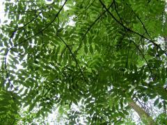 Ash-tree saplings
