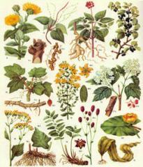 Экстракты лекарственных трав жидкие и сухие.