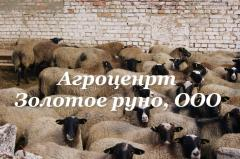 Овцы, в Украине, цена от производителя, фото