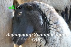 Овцы романовской породы в Украине, цена от